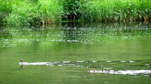 Ducklings on the Tweed