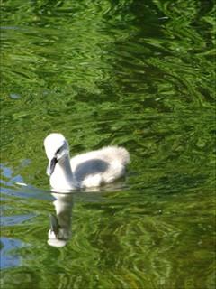 Baby Swan!!