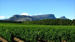 Looking over the wine farm to Table Mountain.